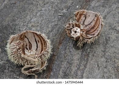 BODO, NORDLAND COUNTY / NORWAY - AUGUST 11 2019:  Test and Aristotle's lantern of an Echinus esculentus, a common sea urchin or European edible sea urchin