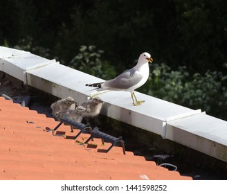 BODO, NORDLAND COUNTY / NORWAY - JULY 03 2019:  Adult common gull (Larus canus) with nestlings on the roof of Nord University main campus
