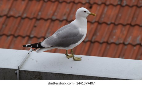 BODO, NORDLAND COUNTY / NORWAY - JULY 03 2019:  Adult common gull (Larus canus) on the roof of Nord University main campus