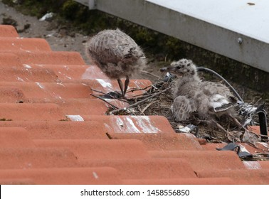 BODO, NORDLAND COUNTY / NORWAY - JULY 04 2019:  Common gull chick - Larus canus on the roof of Nord University main campus