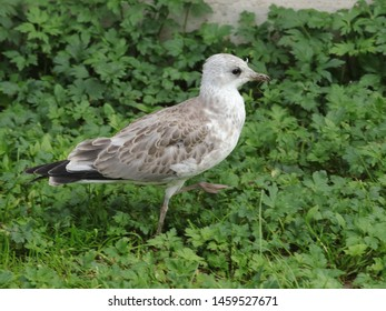 BODO, NORDLAND COUNTY / NORWAY - JULY 23 2019:  Common gull chick - Larus canus near Nord University main campus