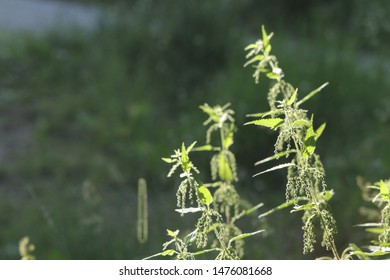 BODO, NORDLAND COUNTY / NORWAY - JULY 27 2019: Morning view on the flowering common nettle or stinging nettle