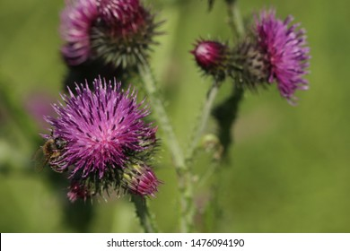 BODO, NORDLAND COUNTY / NORWAY - JULY 27 2019: Carduus crispus, the curly plumeless thistle or welted thistle is a biennial herb in the daisy family Asteraceae