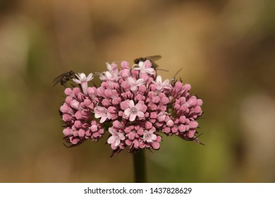 BODO, NORDLAND COUNTY / NORWAY - JUNE 29 2019:  Valerian or Valeriana officinalis from the  Caprifoliaceae family is a perennialflowering plant native to Europe and Asia