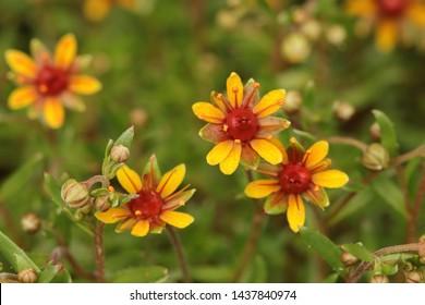 BODO, NORDLAND COUNTY / NORWAY - JUNE 29 2019: Saxifraga aizoides, yellow mountain saxifrage or yellow saxifrage, is a flowering herb and alpine plant of the genus Saxifraga.
