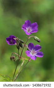 BODO, NORDLAND COUNTY / NORWAY - JUNE 29 2019: Flowering of Geranium sylvaticum (wood cranesbill, woodland geranium)
