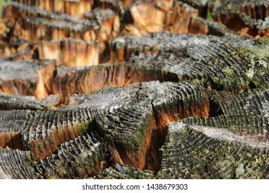 BODO, NORDLAND COUNTY / NORWAY - JUNE 29 2019:  Old tree stump cut. Old tree. Tree stump in nature