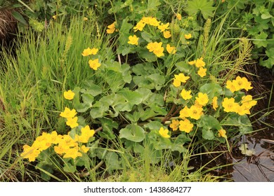 BODO, NORDLAND COUNTY / NORWAY - JUNE 02 2019:  Flowering of Caltha palustris is a perennial herbaceous plant of the buttercup family, native to marshes, fens, ditches and wet woodland