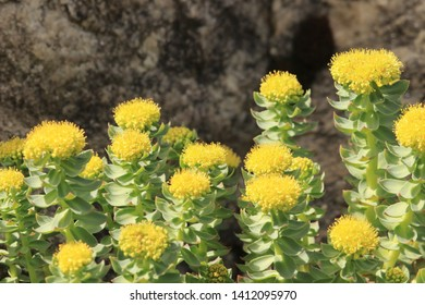 BODO, NORDLAND COUNTY / NORWAY - MAY 06 2019:  Rhodiola rosea is a perennial flowering plant in the family Crassulaceae. It grows naturally in wild Arctic regions of Europe, Asia and North America