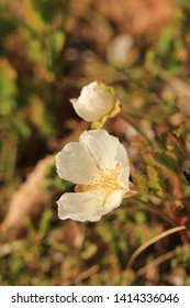 BODO, NORDLAND COUNTY / NORWAY - MAY 25 2019:  Rubus chamaemorus is a plant native to cool temperate regions, alpine and arctic tundra and boreal forest, producing amber-colored edible fruit