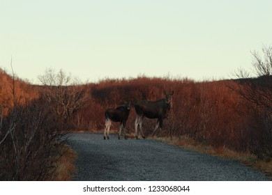 BODO, NORDLAND COUNTY / NORWAY - NOVEMBER 18 2018: Adult elk and her cub. Hiking trail to the Keiservarden viewpoint near city of Bodo (Bodø), Norway