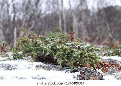 BODO, NORDLAND COUNTY / NORWAY - NOVEMBER 25 2018:  Juniper growing on rocks near the city of Bodo (Bodø), Norway