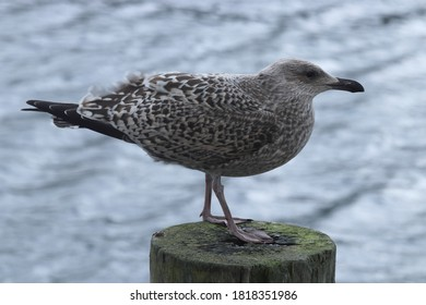 BODO, NORDLAND COUNTY / NORWAY - SEPTEMBER 22 2019: Young seagull in the Bodo harbour, Norway