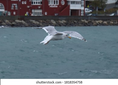 BODO, NORDLAND COUNTY / NORWAY - SEPTEMBER 20 2020: Seagull flying over the sea during the windy weather. Bodo harbour, Norway
