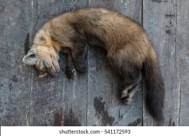 Body of a dead Russian Sable with brown fur lying on wooden plank surface