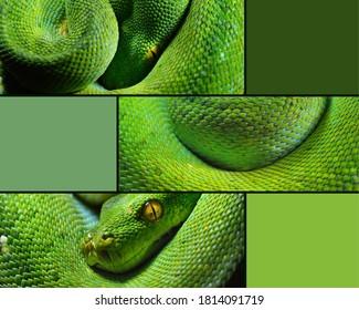 Body of green tree python Morelia viridis close-up. Portrait art. Snake skin. Natural texture, pattern, background. Abstract, graphic resource, panorama, image set, collage, postcard. Zoology, biology