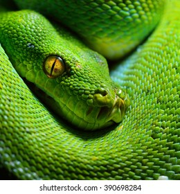 Body of green tree python Morelia viridis close-up. Portrait art. Snake skin, natural texture, abstract, graphic resources. Nature, environmental conservation, animal wildlife, zoology, herpetology
