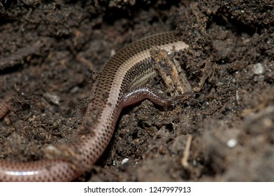 Body and leg of Bronze grass skink (Eutropis macularia). Keoladeo Ghana. Bharatpur. Rajasthan. India.