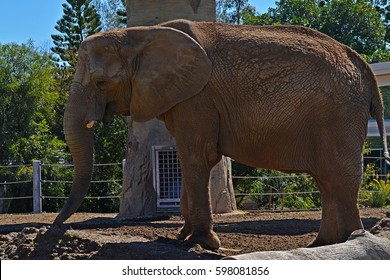 Body profile of a huge tusked elephant