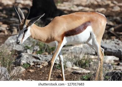 A body view of a springbok antelope, Antidorcas marsupialis