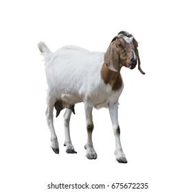 Boer goat isolated on white background