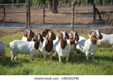 boer goat in phanomsarakam thailand