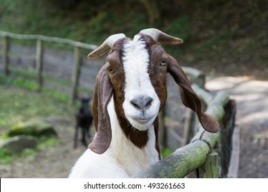 Boer goat watching around corral