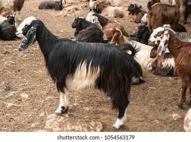 Boer goats is on  the farm. Israel.