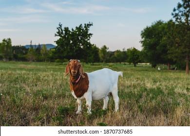 Boer goats on a goat farm