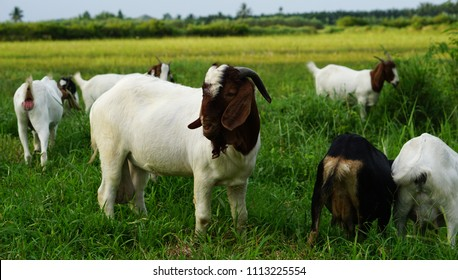 Boer white goat with him wifes in The field