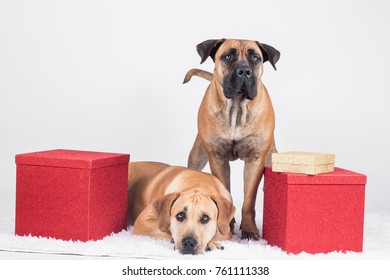 Boerboel and bullmastiff with christmass gifts sitting on white background
