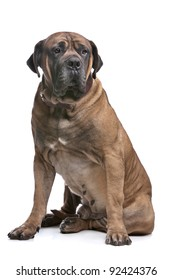 Boerboel in front of a white background