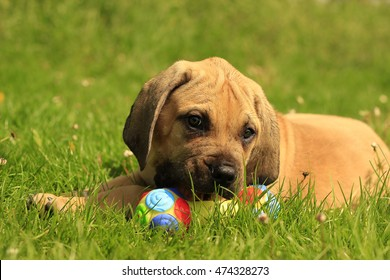 Boerboel puppies - Playing on the grass in the garden
