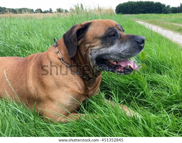 Boerboel South African Mastiff On Meadow Stock Photo (Edit