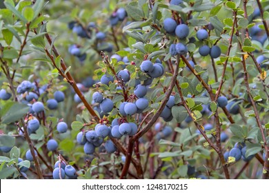 Bog Bilberry, Northern Bilberry, Vaccinium uliginosum, fruits in summer