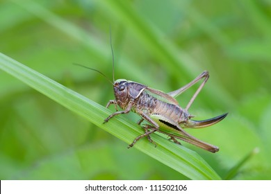Bog Bush-cricket (Metrioptera brachyptera) on straw of grass, Sweden
