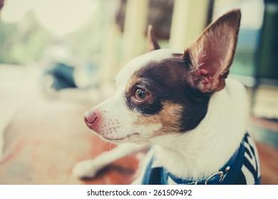 Bog Chihuahua