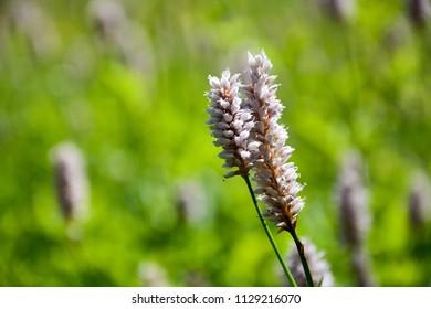 Bog flowers at spring season