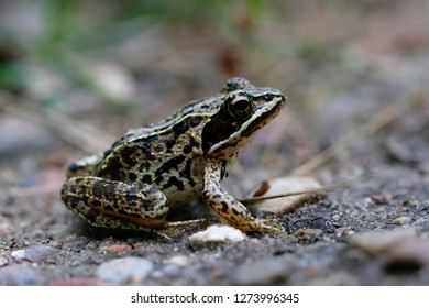 Bog frog on a forest trail - side view
