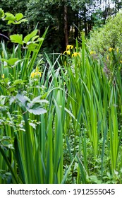 Bog Garden with beautiful water iris flowers - blooming in yellow  blooming plants which love waterlogged conditions.