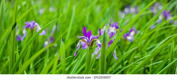 Bog Garden with beautiful water iris flowers -   purple blooming plants which love waterlogged conditions.