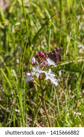Bogbean flower with a Small tortoiseshell butterfly