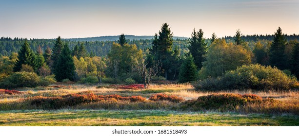 Boggy Forest with blueberry bushes in Autumn, Ore Mountains, Germany
