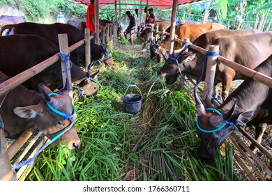 bogor, indonesia on june 29, 2020: qurban cows in a cage during feeding time with green grass