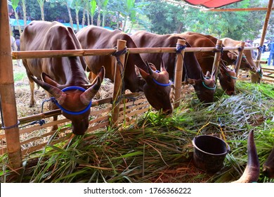 bogor, indonesia on june 29, 2020: feeding time for qurban cows for idul adha celebration