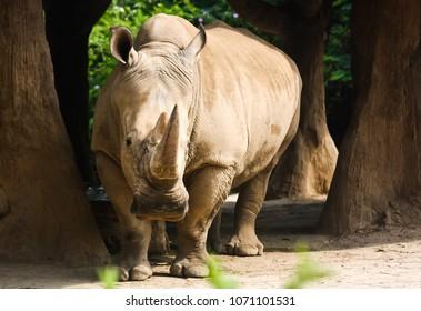 Bogor, Indonesia - September 4 2011: Java Rhinoceros