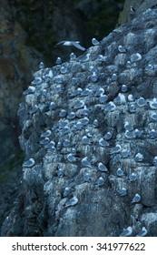 Bogoslova Island, Kittiwake bird cliff colony,