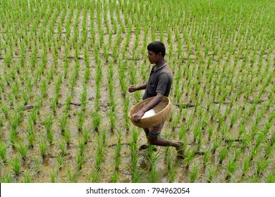BOGRA, BANGLADESH - FEBRUARY 28, 2017: A Bangladeshi farmer uses fertilizer on paddy field at Bogra, Bangladesh. Paddy is the main food of Bangladesh on February 28, 2017.