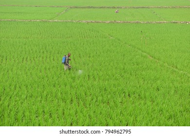 BOGRA, BANGLADESH - FEBRUARY 28, 2017: A Bangladeshi farmer sprays insecticide on paddy field to protect plants from insects at Bogra. Rice is the main food of Bangladesh on February 28, 2017