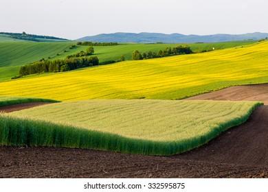 Bohemian fields of rapeseed